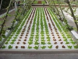 water-culture-hydroponics2